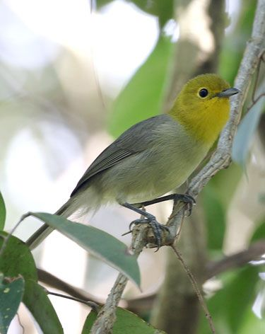 Yellow-headed-Warbler2
