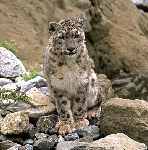Snow-Leopard-for-Web-Bikram