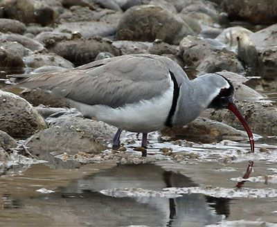 Ibisbill by Steve Bird