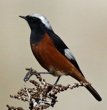 White-winged-Redstart