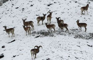 Ladakh-Urial-(Red-Sheep)-by Steve Bird