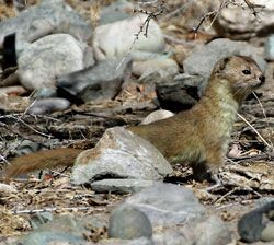Mountain-Weasel