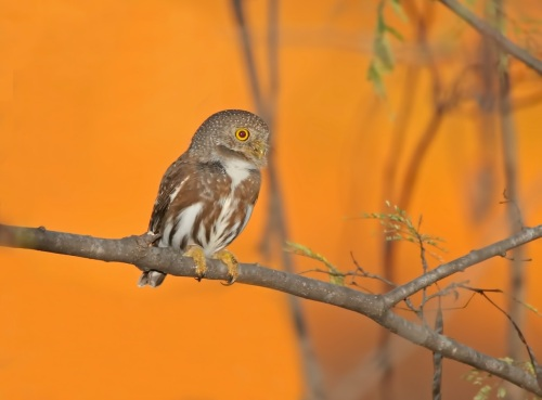 Colima Pygmy-Owl by Kim and Cindy Risen