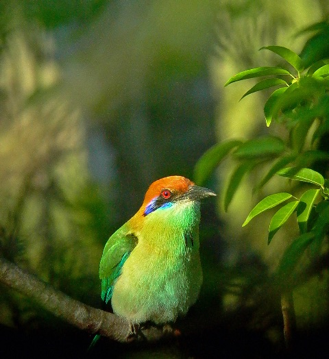 Russet-crowned Motmot by Kim and Cindy Risen