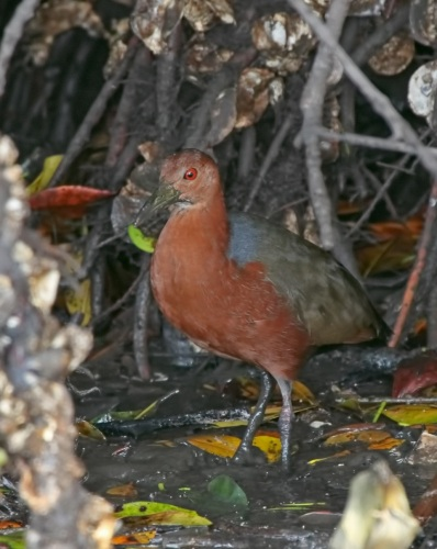 Rufous-necked Wood-Rail by Kim and Cindy Risen