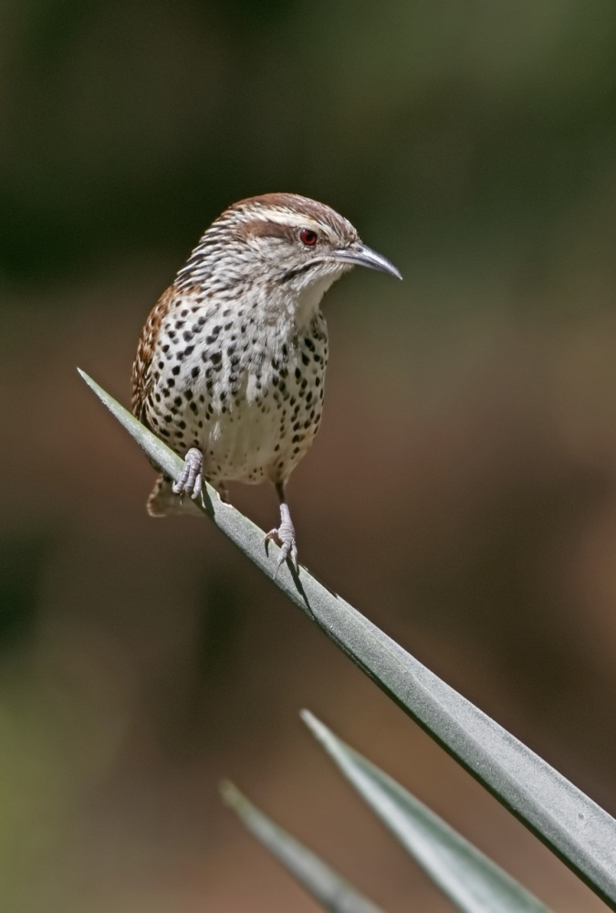 Spotted Wren by Kim and Cindy Risen