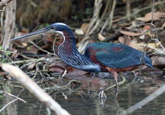 Agami-Heron