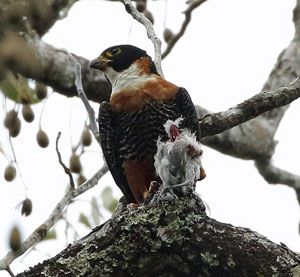 Orange-breasted-Falcon-2