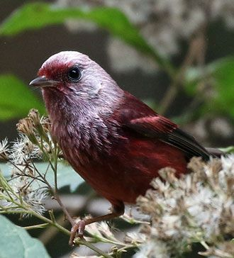 Pink-headed-Warbler3
