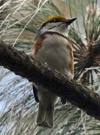 Chestnut-sided-Shrike-Vireo