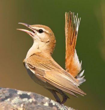 Rufous-Bush-Robin-by-Pedro-