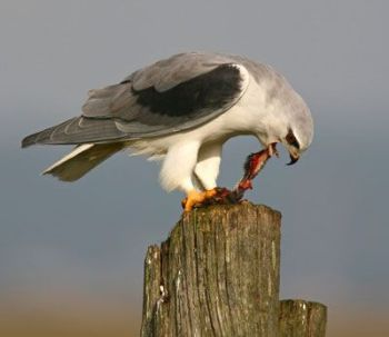 Black-shouldered-Kite-by-Pedro Marques