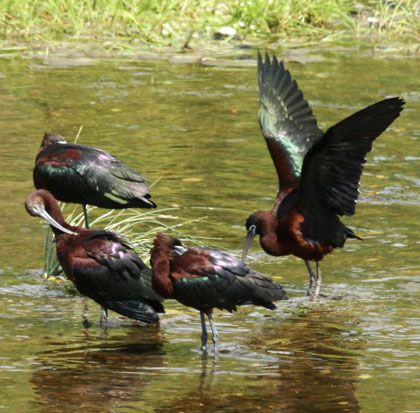 Glossy-Ibis by Steve Bird