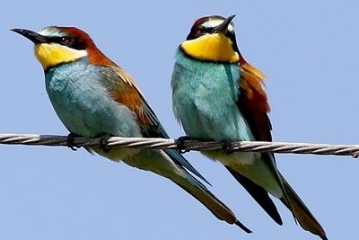 Bee-eaters3