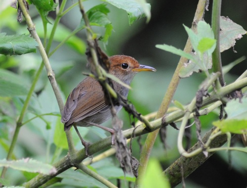 Russet-capped Tesia by Nick Bray