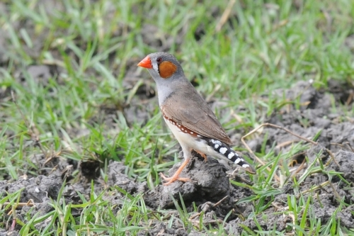 Zebra Finch on Timor