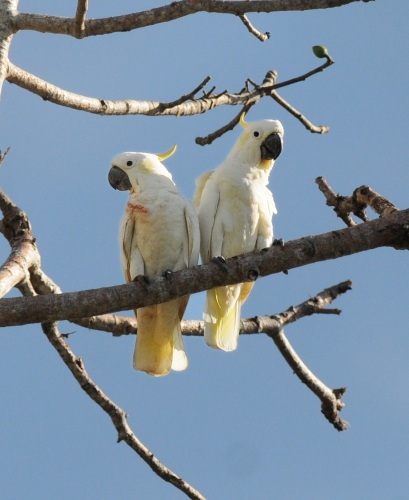 Yellow-crested Cockatoo on Komodo