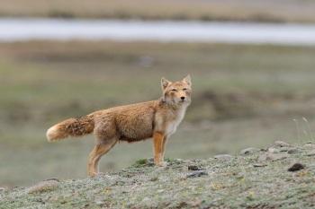 Tibetan Fox 2