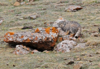 Pallass Cat 1