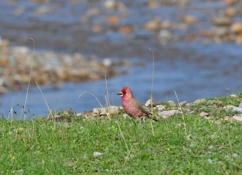 Spotted Great Rosefinch 6