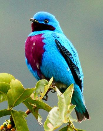 Lovely-Cotinga-by-James-Adams