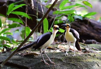 Yellow-headed Picathartes - Ghana by Nick Bray