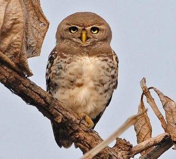 Forest Owlet copyright Nikhil Devasar