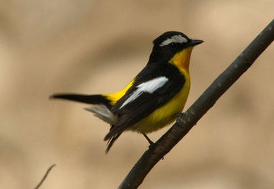 Yellow-rumped Flycatcher