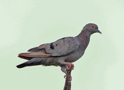 Yellow-eyed Pigeon copyright Nikhil Devasar
