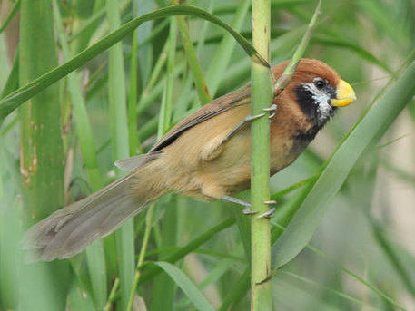 Black-breasted Parrotbill © Peter Lobo