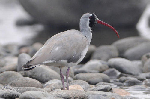 Ibisbill at Nameri © Peter Lobo