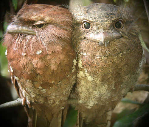 Sri Lanka Frogmouths by Nick Bray