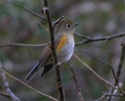 Himalayan Red-flanked Bush-robin