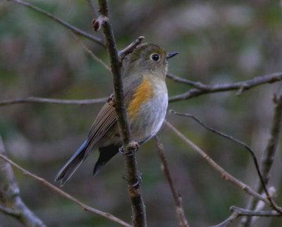 Himalayan Red-flanked Bush-robin
