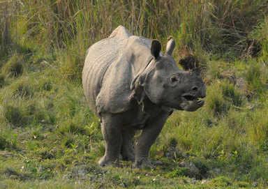 indian one-horned rhino