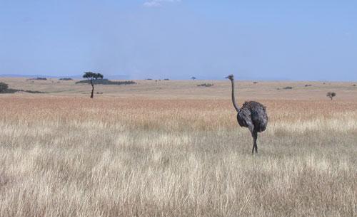 Masi Mara scene