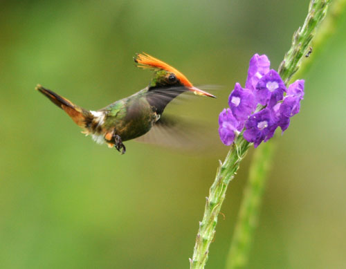 Rufous-crested Coquette by Nick Bray