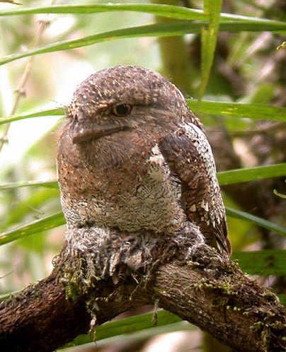 Sri Lanka Frogmouth a