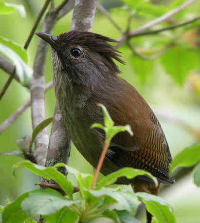 Streak-throated Barwing