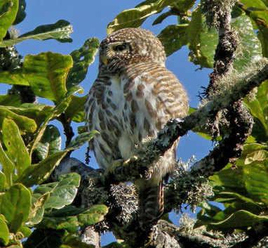 Collared Owlet at Phulchowki
