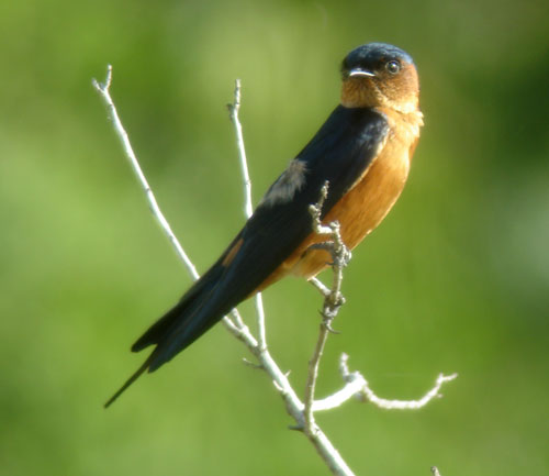 Ceylon Swallow