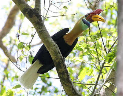 Knobbed Hornbill © Jan Vermeulen