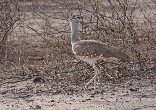 Arabian Bustard - Ethiopia 2015
