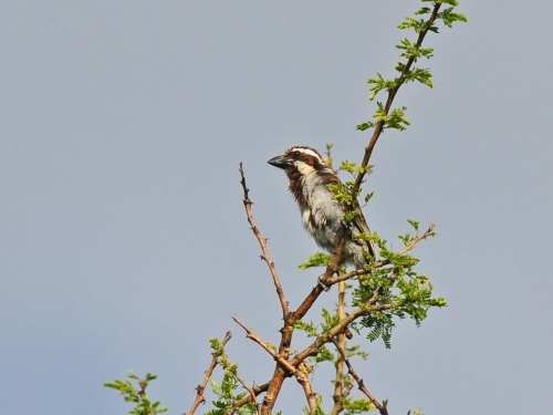 Black-throated Barbet