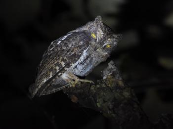 Waldens Scops Owl 2