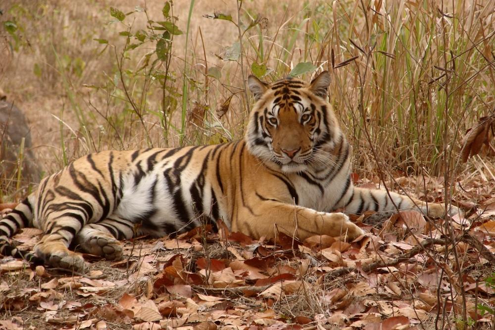 Tiger - Khana