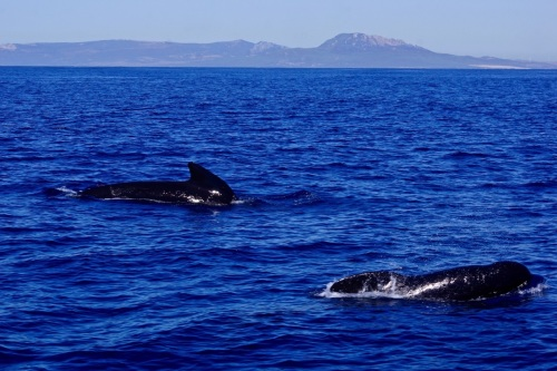 Pilot Whales, Straits of Gibraltar