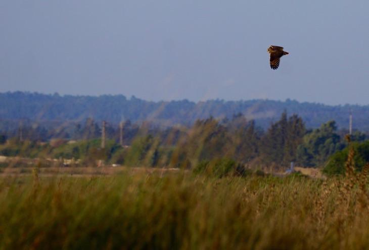 Marsh owl, Morocco
