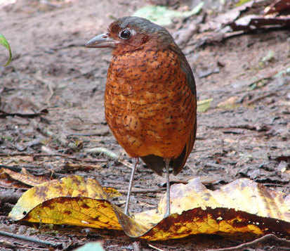 Giant Antpitta - cover