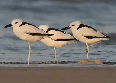 Crab Plovers - Gujarat